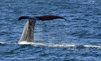 Sperm Whale Fluke -  Source: www.treknature.com