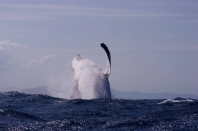 Huge Humpback breaching