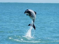 Mauis Dolphin © 2012 - Transcend