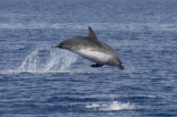 Spotted Dolphin. source: Hilton